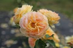 rozes-5